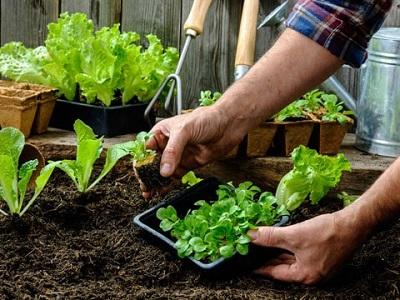 کاشت سبزیجات و صیفی جات