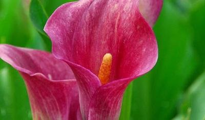 گل شیپوری