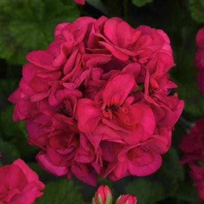نگهداری گل شمعدانی