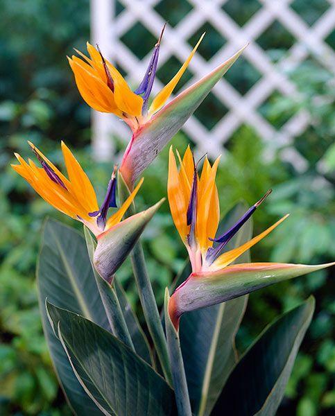 نگهداری گل استرلیتزیا 🌵 | پرنده بهشتی ، مرغ بهشتی، گل زبان پرنده | کافه گلدون