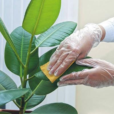 تمیز کردن برگ گیاهان و تعویض گلدان