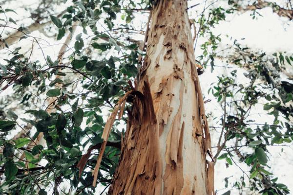 چوب درخت اکالیپتوس